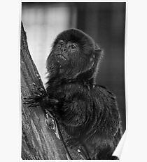 Goeldi monkey Poster