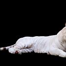 White Tiger by Lincoln Stevens