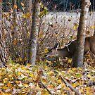 Deer Aspen by Jonathan Coe