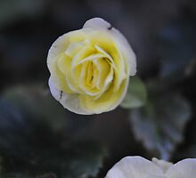 Little Flower by Laura Lawrence by Laura Lawrence