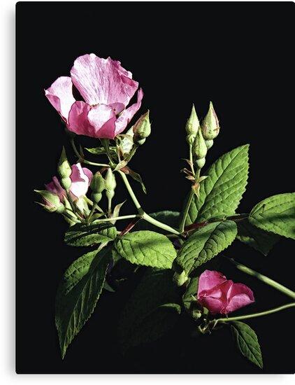 Wild Pink Rose by Sharon Woerner
