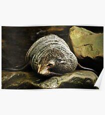 Fur Seal Poster