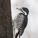 Black-backed Woodpecker On Charred Bark. by Daniel Cadieux