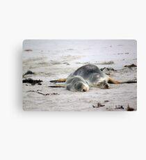 Nap-time for Mother and Pup, Seal Bay - Kangaroo Island Canvas Print