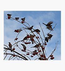 Robins Everywhere Photographic Print
