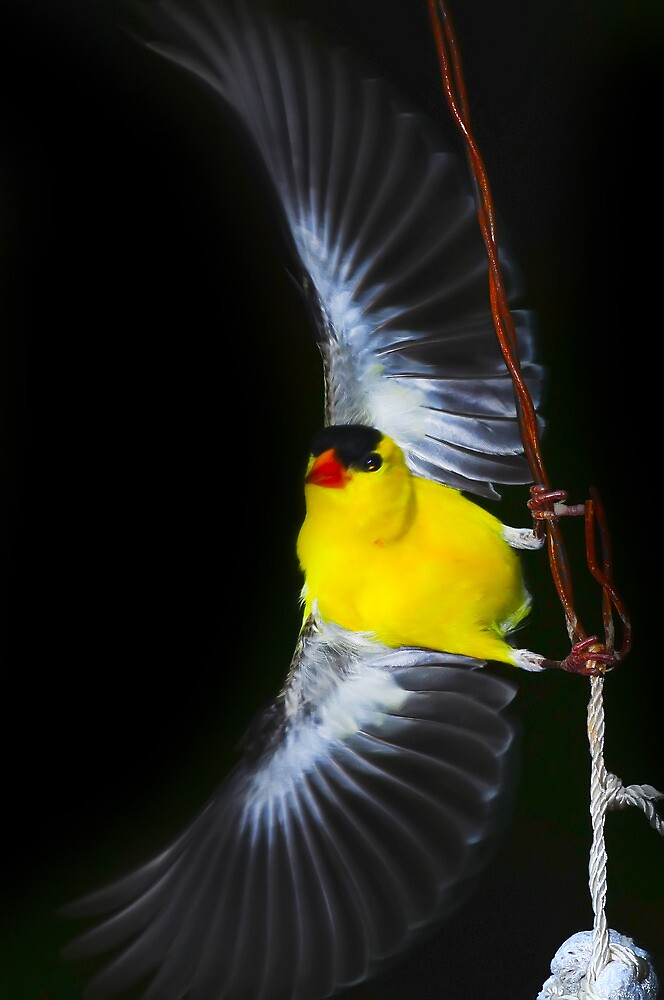 American Goldfinch Spread Flying by Randy Branham