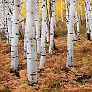 Aspen & Fern by David Kocherhans