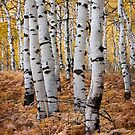 Aspen & Fern (Vertical) by David Kocherhans