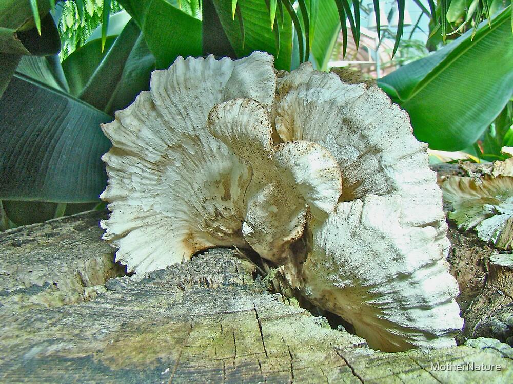 Pleated Fan - Shelf or Bracket Fungus by MotherNature