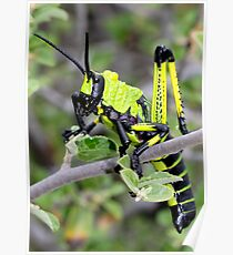 Stinksprinkaan  - Phymateus leprosus - Toxic Milkweed Grasshopper Poster