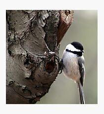 Chickadee 5 Photographic Print