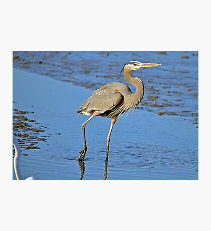 MUDDY FEET (Great Blue Heron) Photographic Print