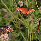 Queen Butterfly Trio by Richard G Witham