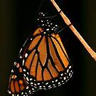 Merry Monarch by Kim Roper