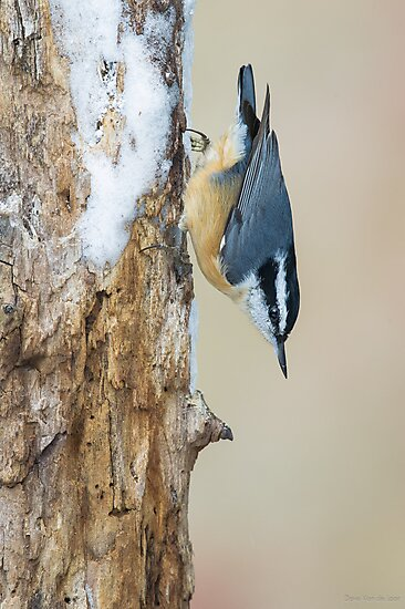 Red-Breasted Nuthatch by (Tallow) Dave  Van de Laar