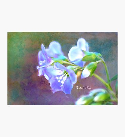Painted Greek Valerian Blossoms Photographic Print