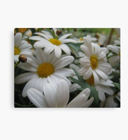 Daisies,daisies everywhere... or at least in this flowerbed. Canvas Print