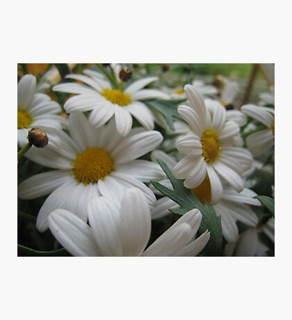 Daisies,daisies everywhere... or at least in this flowerbed. Photographic Print