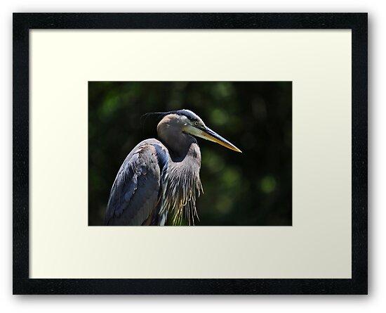 Graceful Great Blue Heron by Kathy Baccari