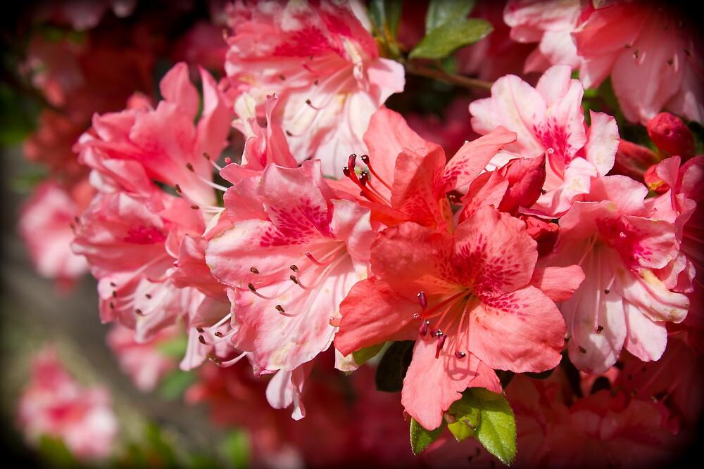 Spring of Azaleas by MsMelStevens