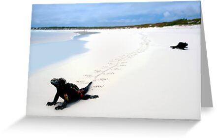 Galapagos Marine Iguana strolls down the beach by kmatm