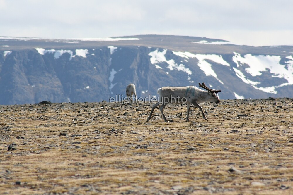 NorthCape Reindeer by ellismorleyphto