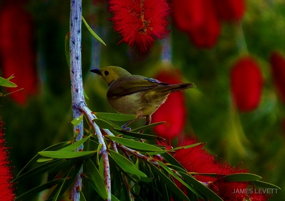bird in bottle brush by JAMES LEVETT