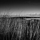 Sunlit Grasses, Achavanich, Caithness, Scotland by Iain MacLean