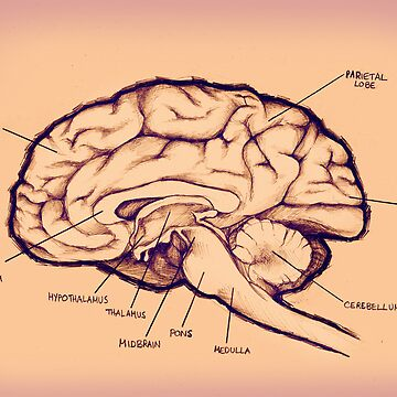 Brain Diagram by Selador