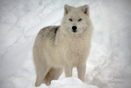 """""""The Arctic Wolf"""" Posters By John44"""