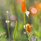 California Poppies by Kim Barton