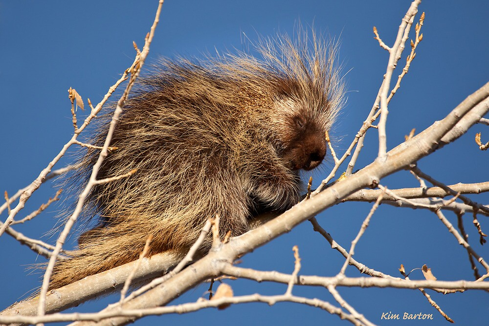 Sleepy Porcupine by Kim Barton