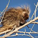 Sleepy Porcupine by Kim Barton