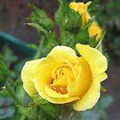 Tender Rose by BlueMoonRose