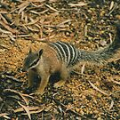 NUMBAT by Jayson Gaskell