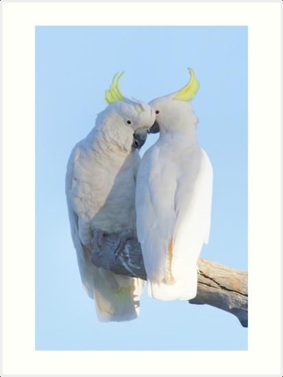 Sulphur Crested Cockatoo by Donovan Wilson