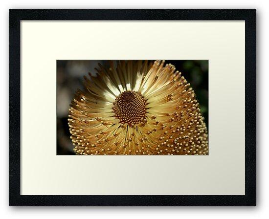 Banksia at Wittunga by Ben Loveday