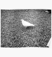 White Pigeon on asphalt Poster