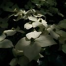Chinese Dogwood in flower by Chris Samuel