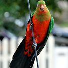 King Parrot by Chris Samuel