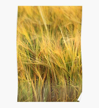 Table Cape Harvest  Poster