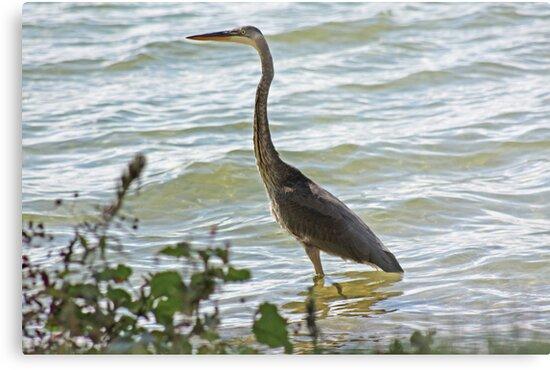 Wading Great Blue Heron by Thomas Murphy