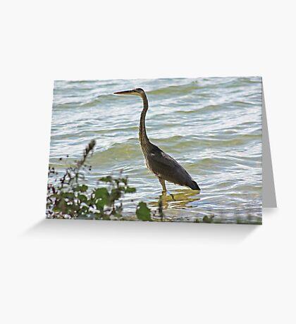 Wading Great Blue Heron Greeting Card