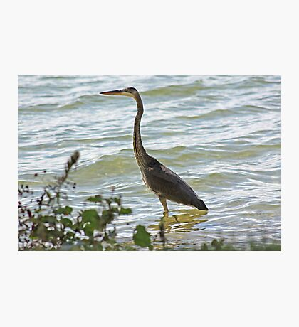 Wading Great Blue Heron Photographic Print
