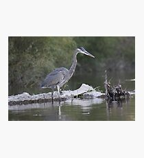 Great Blue Heron on Milwaukee River Photographic Print