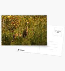 Sandhill Cranes on shore of Lake Postcards