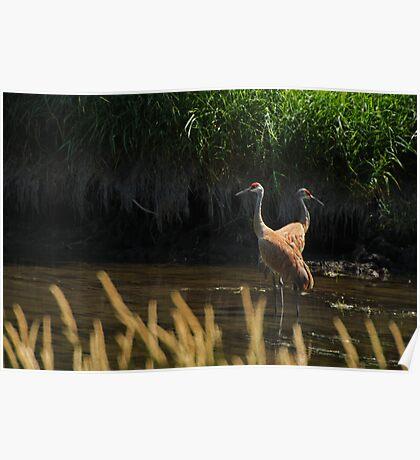 Sandhill Cranes Wading Poster