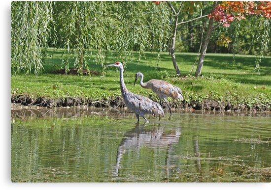 Sandhill Cranes Wading in Shallows by Thomas Murphy