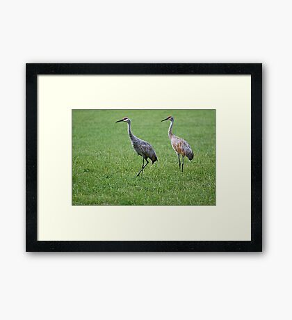 Sandhill Cranes in Grass Field Framed Print