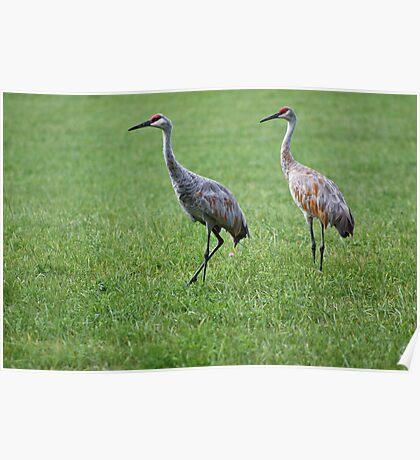Sandhill Cranes in Grass Field Poster